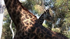 Giraffe Stock Footage