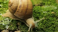 Stock Video Footage of Macro Beautiful Baby Snail Crawling in Nature, Close Up View of Crawling Snail