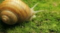 Macro Beautiful Baby Snail Crawling in Nature, Close Up View of Crawling Snail Footage