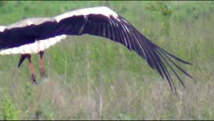 Stork flying over the field Stock Footage