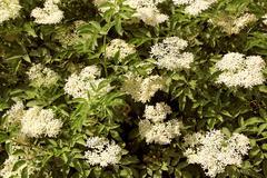 Flowers of sureau Stock Photos