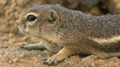 Ground Squirrel Sniffs Air Stock Footage