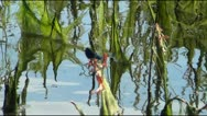 Blue dragonfly on algae River Stock Footage