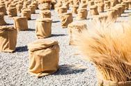 Stock Photo of ripe summer wheat