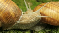 Stock Video Footage of Macro Beautiful Two Snails Falling in love, Close Up View of Crawling Snails