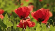 Stock Video Footage of poppy flowers