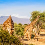 free giraffe in kenya - stock photo