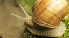 Macro Beautiful Baby Snail Crawling in Nature, Close Up View of Crawling Snail Stock Footage