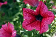 Stock Photo of pink geraniums