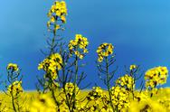 Stock Photo of Rapeseed flowers