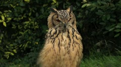 owl 2 - stock footage