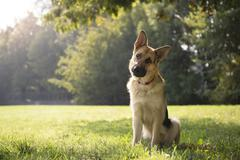 Stock Photo of young purebreed alsatian dog in park