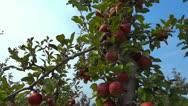 Beautiful Apples 1 HD Red Ripe Tree Green Sky Stock Footage