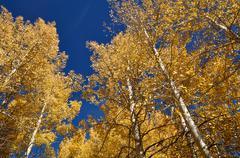 Aspen trees with blue sky Stock Photos