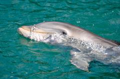 dolphin swimming in the sea - stock photo