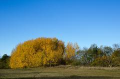 Golden aspen group Stock Photos