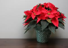 Stock Photo of Poinsettia on a Table