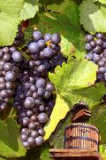 grapevine - stock photo
