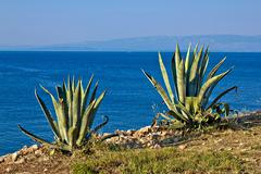 agave plants by the sea - aloe - stock photo