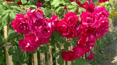 Beautiful Red Roses on Garden Fence - Baltic Sea, Northern Germany Stock Footage