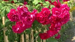 Kaunis punaisia ruusuja puutarha-aita - Itämeri, Pohjois-Saksassa Arkistovideo