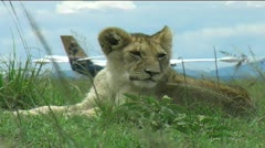 Lion cub by Aeroplane Stock Footage