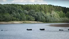 Stock Video Footage cows swim across the river Stock Footage