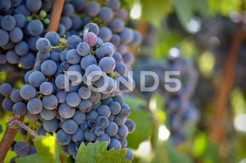 Stock photo of red wine grapes on the vine