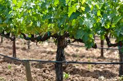 wine vineyard in spring - stock photo