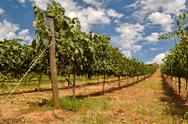Wine vineyard with blue sky and clouds Stock Photos