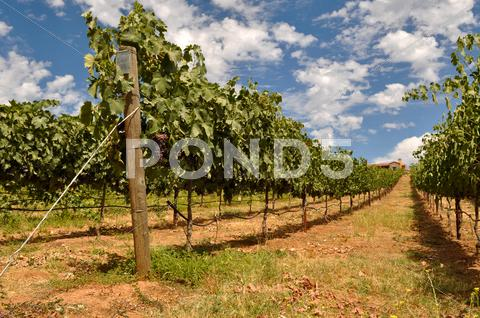 Stock photo of wine vineyard with blue sky and clouds