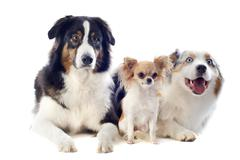 australian shepherds and chihuahua - stock photo