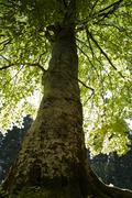 Suuri puu kevennetty takaapäin Kuvituskuvat