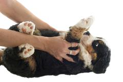 Puppy bernese moutain dog Stock Photos
