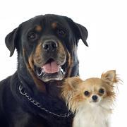 Rottweiler ja chihuahua Kuvituskuvat