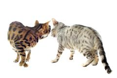 Bengal cats Stock Photos