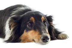 shetland dog - stock photo