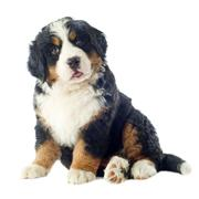 puppy bernese moutain dog - stock photo