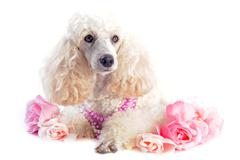 poodle and flowers - stock photo