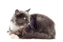 blue maine coon cat - stock photo