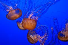 jellyfish in blue water - stock photo