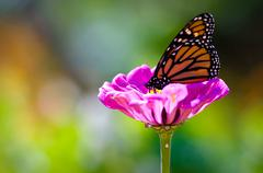 monarch on purple flower - stock photo