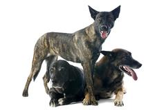 three dogs - stock photo