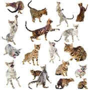 bengal cats - stock photo