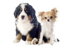 Puppy bernese moutain dog and chihuahua Stock Photos