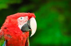 red parrot with green background - stock photo