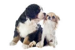 puppy bernese moutain dog and chihuahua - stock photo