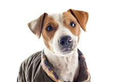 jack russel terrier with coat - stock photo