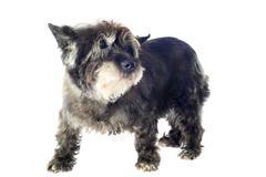 cairn terrier - stock photo