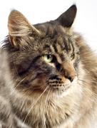 Maine coon cat Stock Photos